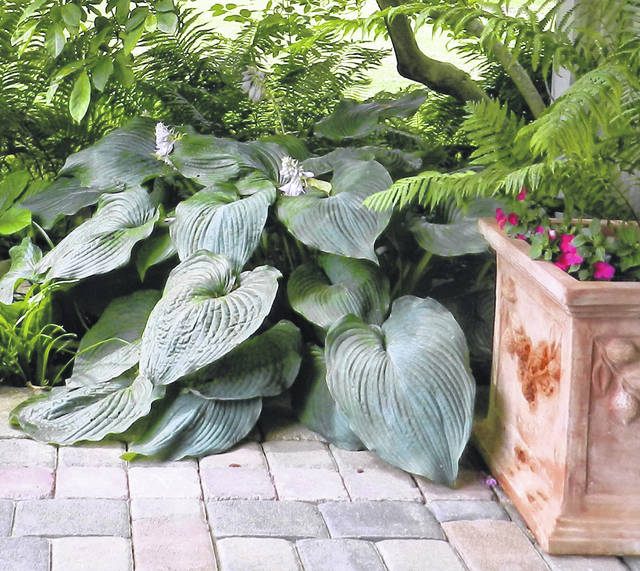 Hostas Are Problem Solvers For Shade Portsmouth Daily Times
