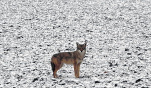 Coyotes in town: What to do if spotted