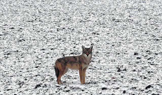 Mayor Kevin Johnson told Portsmouth City Council on Monday that he had received reports of coyotes in the city limits over the past week.