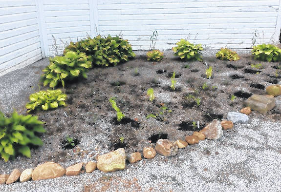 OSU Extension Morrow County Master Gardener Volunteer group adopted the flower bed by the floral hall at the Morrow County Fairgrounds. They planted native pollinator plants tonight. It is a work in progress; they want to lay mulch down next. Thank you volunteers for your hard work.