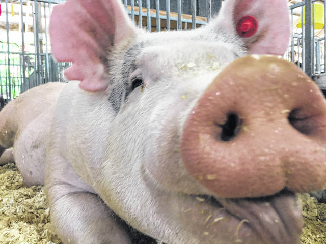 Courtesy Photo | The Ohio State University Pigs provide valuable information in preventing the next flu outbreak. Almost every pandemic starts in animals, and researchers are swabbing pigs at county fairs to identify these new strains before they make the leap to humans.