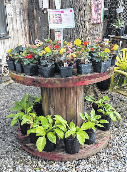 Begonias and Hostas grace a wire spool at Growing Companions south of Chesterville.