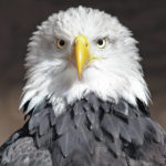 Winter perfect time to view bald eagles