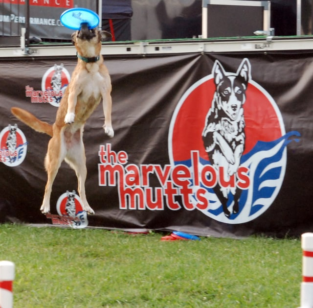 The Marvelous Mutts dog show has been a popular attraction at the 2015 Miami County Fair.