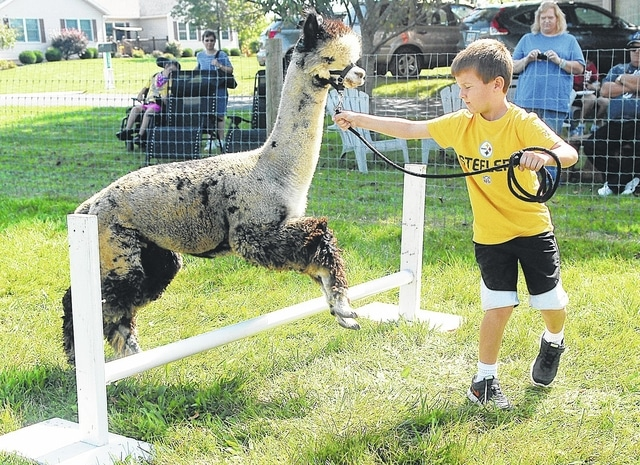 Gage Castle, 7, the son of Jeremiah and Karen Castle of Sidney, leads an alpaca over a hurdle at Count Your Blessings Alpacas during a previous year's Alpaca Farm Days event. The farm will be open to the public for free this year on Saturday from 11 a.m. to 6 p.m.