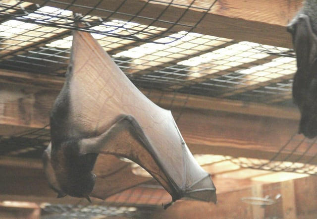 Pictured is a Flying Fox bat held in captivity at the Columbus Zoo and Aquarium. Although they may look terrifying, humans are more threatening to them than they are to us. Their wingspan can be as long as six feet or more, which is longer and broader than insect-eating bats (Flying Fox's diet is mainly fruits and flowers). Their wings are also jointed in several places allowing them to wrap them around their body for warmth and protection.