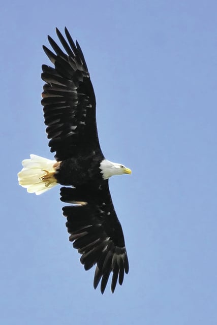 """Provided photo The winner in the Non-professional category of the Miami County Park District's year-long """"Captured Moments … Inspired by Nature"""" photo contest is """"Awesome Eagle"""" by Michael McCullough. The contest, also sponsored by the <em>Troy Daily News </em>and<em> Piqua Daily Call, </em>also encourages photographs with park guests in them, and more information on the contest can be found at http://miamicountyparks.com/pages/photocontest.htm."""