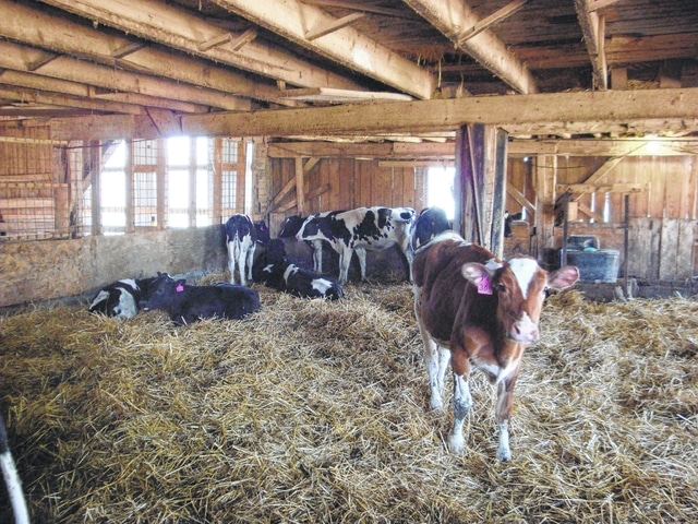 Cattle can be seen at various stops on the 2016 Shelby County Farm Tour set for Sunday, Sept. 18.