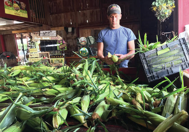 Mike Ullery | Daily Call Ryan Gant of Fulton Farms sorts sweet corn at the Fulton Farms Market near Troy on Saturday afternoon. Sweet corn season is here and the market is busy with customers seeking Fulton's famous sweet corn, melons, tomatoes, and other produce, fresh from the fields.