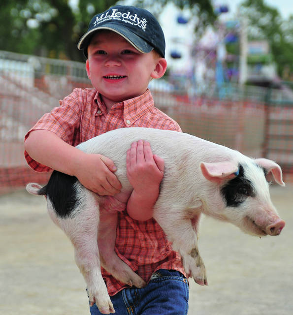 Mike Ullery | Daily Call Three-year-old Cash Wheelock of West Milton shows off his pig wrangling skills during Monday's Livestock Scramble at the Miami County Fair.