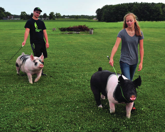 Mike Ullery | AIM Media Midwest Brenna Miller, 16, right, and her brother, Bryan, 18, drive their pigs as they count down the days to their animals showing at the Miami County Fair, which begins on Friday.