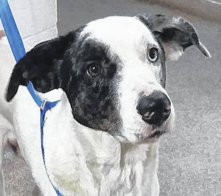 <strong>Meet Frankie</strong> Frankie was brought in to the Miami County Animal Shelter as a stray found wandering the country. He is a beautiful sweet boy and seems a little shy at first but warms up fairly quickly. He has striking, multicolored eyes. This boy is so sweet and is missing someone. Come meet him today and give him all the love you can give. He would love to have a happy, warm, loving home to call his own. If you would be interested in this dog, or one of the other dogs and cats that need forever homes, visit 1110 N. County Road 25-A, Troy, call (937) 332-6919, or email mcas6919@yahoo.com for more information. Visit www.co.miami.oh.us for more adoptable pets.