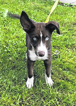 <strong>Reggie's story</strong> Reggie was a return adoption to the Miami County Animal Shelter due to a change in family situation. He is a Husky mix. We are not sure what he is mixed, with but those baby blue eyes are stunning. He is a still a young puppy and would do really well with training and making an excellent forever friend. Come in and meet this handsome guy today. If you would be interested in this dog, or one of the other dogs and cats that need forever homes, visit 1110 N. County Road 25-A, Troy, call (937) 332-6919, or email mcas6919@yahoo.com for more information. Visit www.co.miami.oh.us for more adoptable pets.