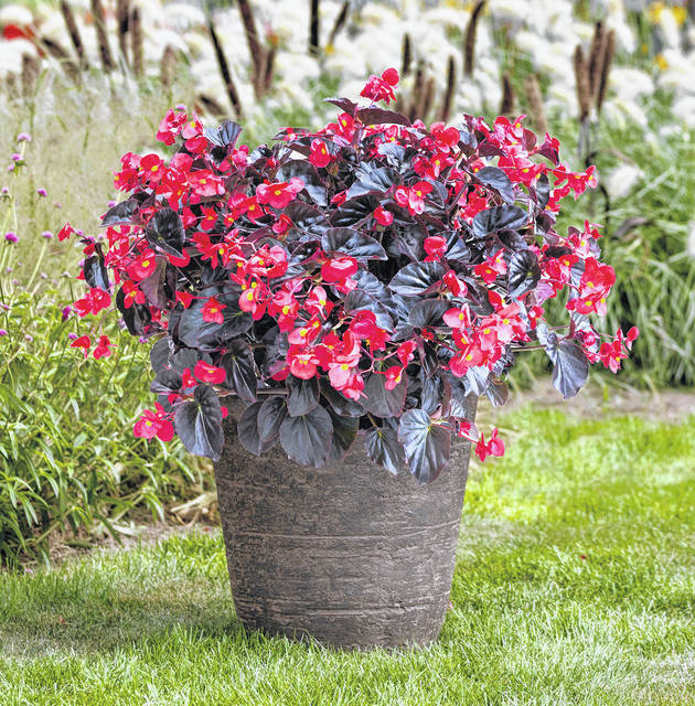 Provided photo Begonia Viking XL Red on Chocolate is a striking plant great for container gardens. Its large vibrant red flowers are contrasted with chocolate brown leaves.