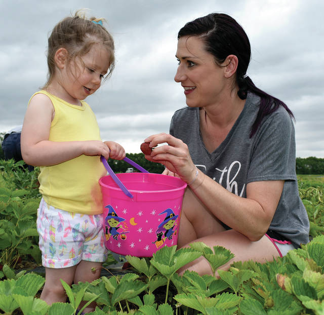 Mike Ullery | Miami Valley Today Allison Davis and her daughter Callie, 2, of Sidney, enjoy an afternoon of U-Pick Strawberry picking at Fulton Farms on Wednesday afternoon. ©2019 Miami Valley Today. All rights reserved