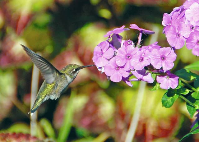 Melinda Myers, LLC | For Miami Valley Today Hummingbirds feed on mosquitoes, other insects as well as flower nectar and feeders.