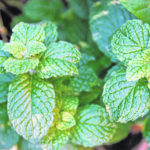 Mint: Cool, refreshing and straight from the garden