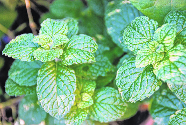 Melinda Myers, LLC | For Miami Valley Today Mint is easy to grow, suited to container gardens and helps aid digestion.