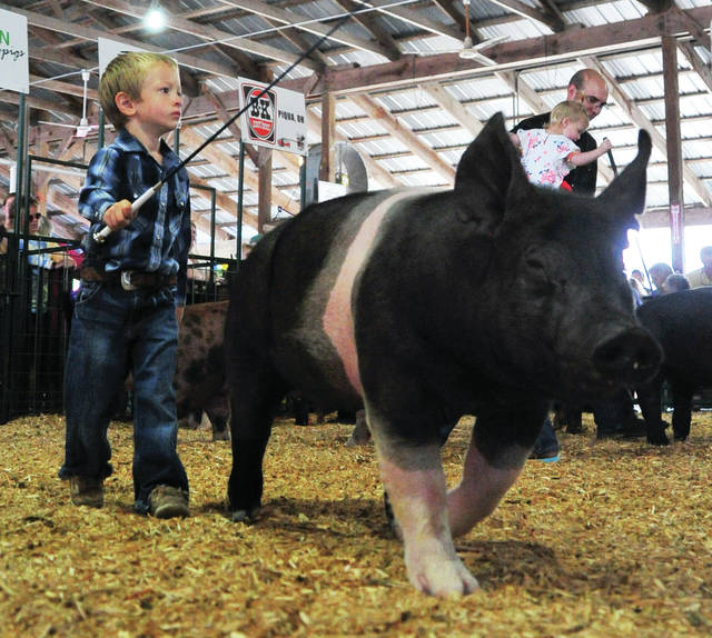 Mike Ullery | Miami Valley Today file photo Wyatt Hill, 3, of Piqua keeps his eye on the judge as he participates in PeeWee Swine Showmanship on Saturday.