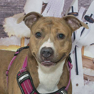 <strong>Meet Annie</strong> Annie was picked up stray and was never reclaimed by her owner. This sweet girl is now available for adoption. Annie is a young girl, about 1-2 years old. She seems to have a sweet and mild mannered disposition. She does have a little energetic burst on occasion like all young dogs, but overall, she seems to be a mellow girl. If you are interested in meeting Annie, stop in to the Miami County Animal Shelter. If you would be interested in this dog, or one of the other dogs and cats that need forever homes, visit 1110 N. County Road 25-A, Troy, call (937) 332-6919, or email animalshelter@miamicountyohio.gov for more information. Visit www.co.miami.oh.us for more adoptable pets.