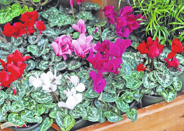 Melinda Myers, LLC Easy-care cyclamen varieties offer plain or ruffled white, pink, rose or lavender flowers.
