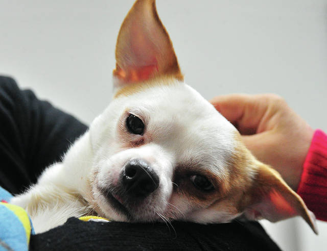 Caregivers at Troy Animal Hospital care for a small Chihuahua that was allegedly thrown from a moving vehicle on State Route 41 and State Route 202. Miami County Sheriff's Office deputies seek to locate the person/persons responsible.