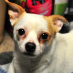 Injured Chihuahua released from animal hospital