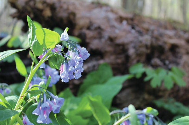 Submitted photos Wild Columbine and Virginia Bluebells are just two of the native species available at the GCP&T Native Plant Sale.