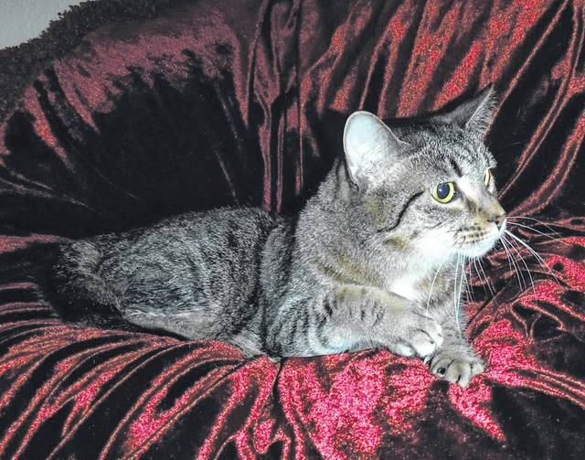Submitted photo Ava is a beautiful brown mackerel domestic short-haired cat. She has been spayed and vet-checked. This large kitty is ready to be rescued by a loving family or individual and share a comfy couch with them.