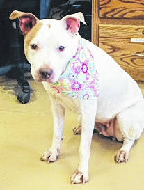 "Submitted photo Frannie is a 5 year old pit bull. Often overlooked, she's described as a ""doll baby."" This pup is sweet and quiet, loves to cuddle and is ready to go to a happy home. She has been spayed and vet-checked and is ready for adoption."