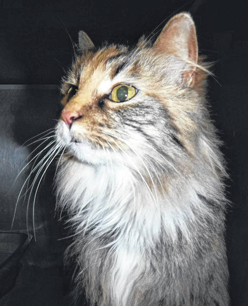Submitted photo Mila is an elegant young kitty who loves head rubs and all attention. This calico domestic long-haired cat is looking for a new home. She's vet-checked, spayed and up-to-date on her shots, and ready to be adopted by a family or individual.