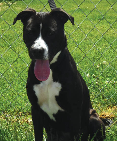 Submitted photo Shayla is a sweet girl looking for a human to commit to a lifetime of long walks in the park and play days with her. She is a 1-year-old black and white pit bull. This pup is vet-checked and ready for adoption.