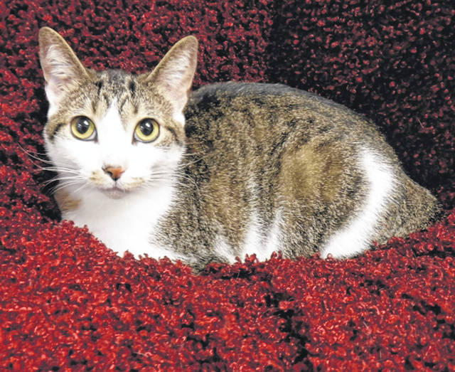 Submitted photo Gigi is a brown mackerel and white domestic short-haired cat. This sweet 1 and a half year old is looking for a home and a family to call her own. She has been spayed and vet-checked and is ready for adoption.