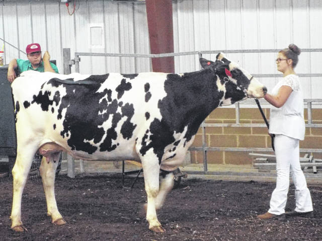 Natalie Jones| Greene County News Haley Partee took first in the Dairy Heifer Senior Showmanship. Partee showed two Jerseys, a Brown Swiss, and a 3-year-old Holstein in the dairy heifer show.