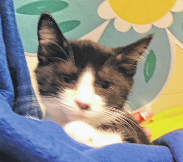 Submitted photo Sammy is a male domestic short-haired kitty. He's small with black and white coloring. Sammy has been vet-checked, vaccinated, neutered and is adoptable. Sammy is still looking for his own family and home.