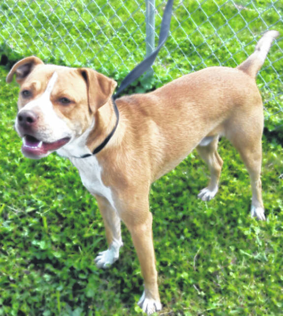 Submitted photo JoJo is a male labrador mix with a tan and white coat. This pup is approximately 1 year old. Like all GCAC adoptable pets, he's up to date on his vaccinations, vet-checked, microchipped and ready to go home with a family.