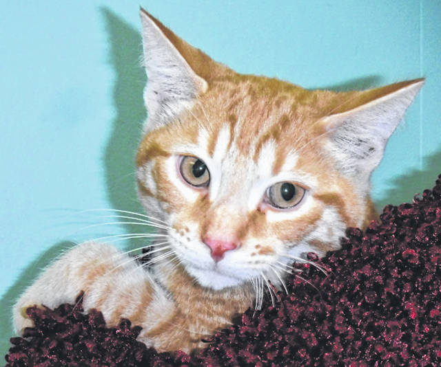 Submitted photo Kirby is a 4.5 month old domestic short haired cat with orange mackerel coloring. This cute kitten at GCAC is ready to go to his forever home.