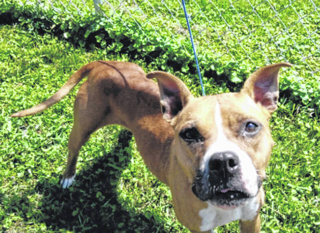 Submitted photo Mona is waiting patiently at GCAC for a new family to come pick her up. Mona is a 2-year-old boxer mix with tan and white coloring. She's been spayed, vet-checked, up-to-date on her shots and is ready to find a new home.