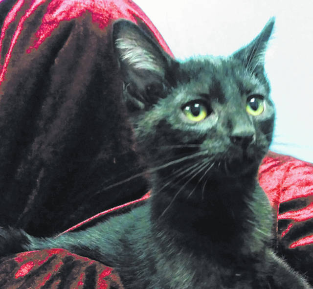 Submitted photo Motley Crue is a 3-month-old male domestic short-haired kitten. This black feline can be visited at GCAC, where he's waiting to go home with a loving individual or family.