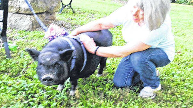 Submitted photo New Jasper United Methodist Church recently held Blessing of the Animals/Pets. Owners, along with their pets, photos and memories of loved pets that had passed on, enjoyed a lovely evening around the fire pit located in the church back yard. Pictured is Layla, a pot-bellied pig which was a rescued pet, is shown getting blessed by Pastor Alice Kay Lovelace. Layla lives in the country along with two other pot-bellied pigs, dogs, miniature donkeys, cats, horses, cattle and rabbits. Pastor Alice also blessed cats and dogs that attended.