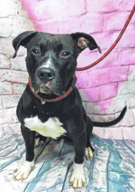 Photo courtesy of GCAC Benny, a male Great Dane mix, is waiting at Greene County Animal Care & Control for his new family to come take him home. This black and white 1.5-year-old pup, like all adoptable GCAC animals, is vet-checked, neutered and vaccinated.
