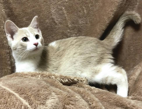Photo courtesy of GCAC Queso is a buff white domestic short-haired kitten. This beautiful 3-month-old male kitty is ready to be adopted. He's been vet-checked, neutered and vaccinated.