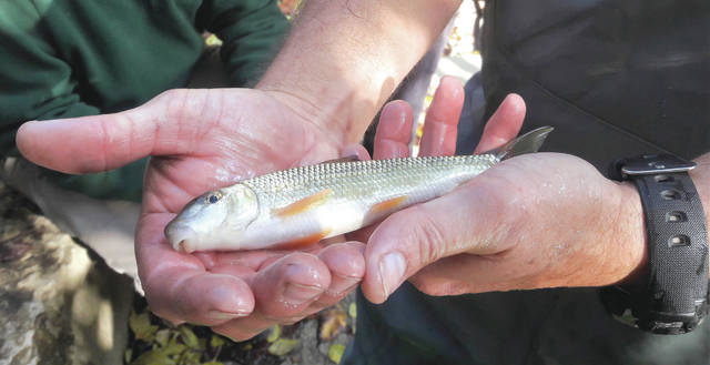 A Common White Sucker was just one of the species captured by ODNR fish biologist Kip Brown.