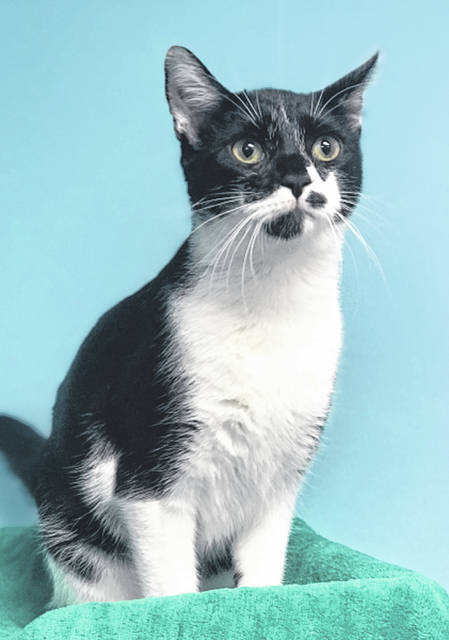 Photo courtesy GCAC Checkers is an 8-month old domestic short-haired cat. He has a spotted face and beautiful black and white coat. Checkers has been neutered, vaccinated and vet-checked. Potential adopters are welcome to meet him and play with him at GCAC.