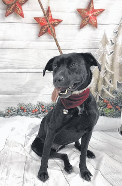 Photo courtesy GCAC Cher is a black and white labrador mix, about 1-2 years old. She's been spayed, vaccinated and vet-checked. Cher would love to start he new life with a good family as the holidays approach. Anyone interested in meeting her can contact GCAC at 937-562-7400.