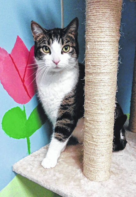 Photo courtesy GCAC Clarence is a 2-year-old neutered male domestic short-haired cat. He has a sleek white and brown classic coat. This kitty is staying warm at GCAC but is ready for a permanent home and his own loving family.