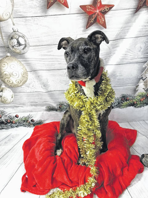 Photo courtesy GCAC Grammy ended up at Greene County Animal Control as a stray, but she didn't get a new home for the holidays. The shelter staff loves this spunky older dog, a female brindle pit bull mix, who is still waiting for her new family. Potential adopters can visit her at GCAC.