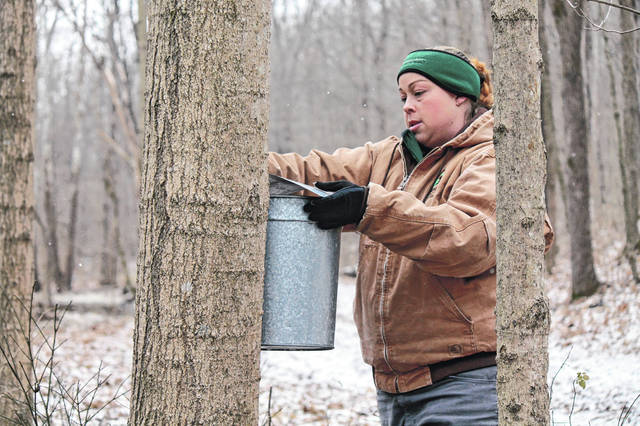 Anna Bolton | Greene County News Greene County Parks & Trails Staff Naturalist Ashlee Schmitt hangs a bucket on a maple tree Jan. 10 at the Sugar Bush in Narrows Reserve.