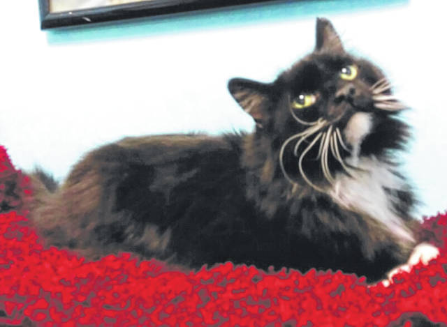 Photo courtesy GCAC Socks is a 4-year-old male domestic long-haired cat. Socks is beautiful with a long black and white coat and has been neutered. This kitty accepts visitors at GCAC, where he's also waiting for a family to come adopt him.