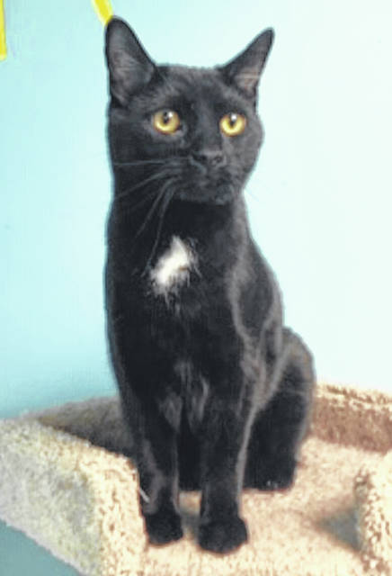 Photo courtesy GCAC Cooper is a sophisticated male cat looking for his person. Black with a white mark on his chest, Cooper is a domestic short-haired cat. Cooper hopes visitors will come see him soon at Greene County Animal Care & Control.